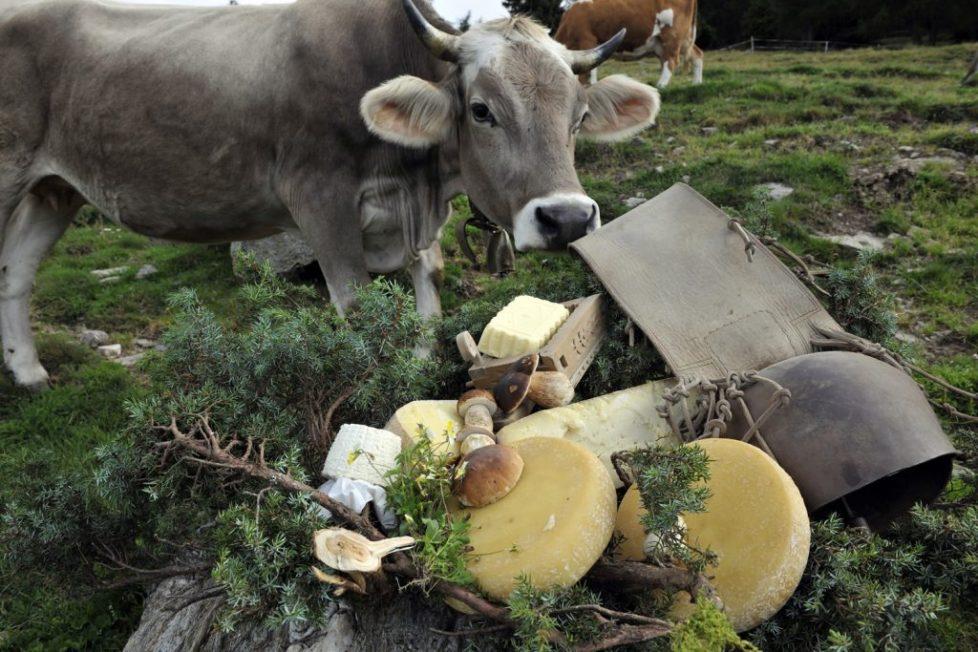 cibo formaggio mucca