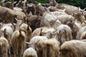 Gregge di capre bionde dell'Adamello