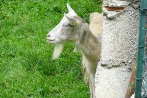 Una schiva capra bionda dell'Adamello