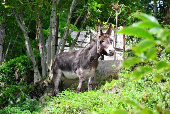 """Un asino curioso lungo l'itinerario del cammino La Via della """"Bionda"""""""