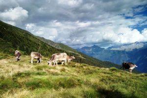 Le mucche pascolano in Valsaviore