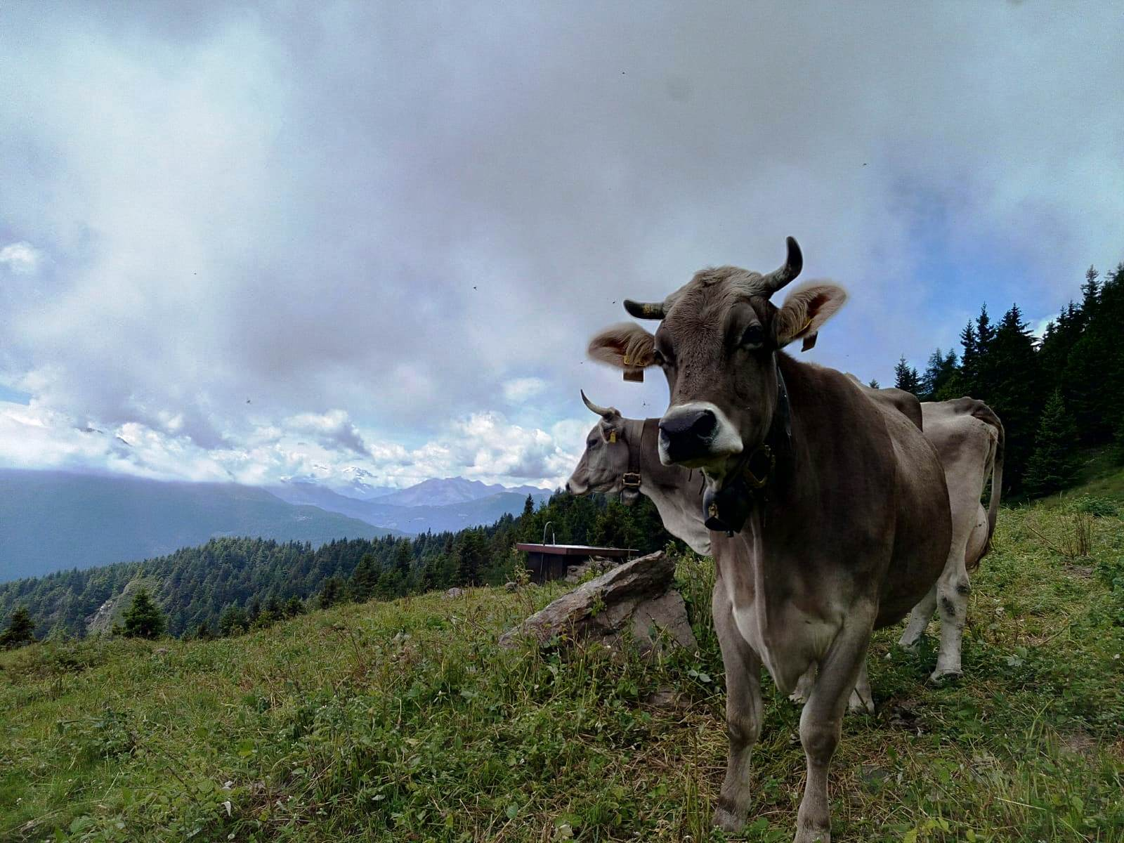 Mucche al pascolo in Valsaviore
