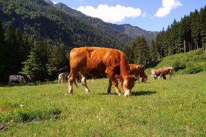 Mucche in Valsaviore