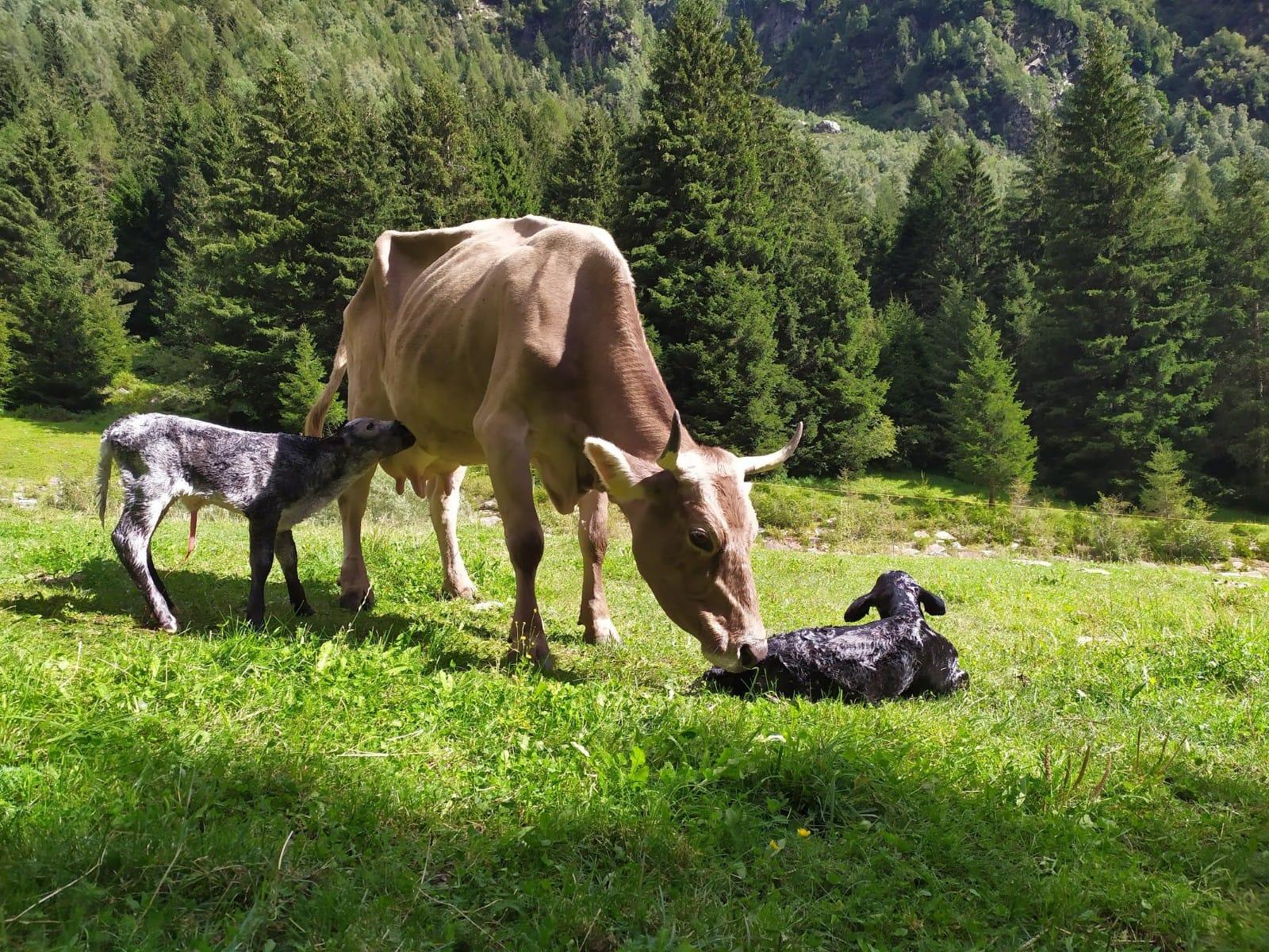 Mucca con vitellini in Valsaviore