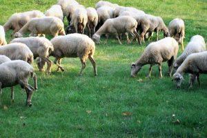 Pecore - Azienda agricola Parolari Cristina